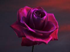 [フリー画像素材] 花・植物, 薔薇・バラ ID:201204220800