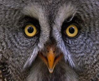 Great grey owl - Bartkauz