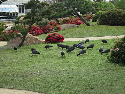 Coots grazing