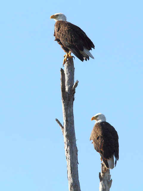 Bald Eagle adults 4-20120301