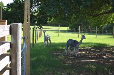 Awesome shade tree for the alpacas