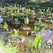 024_Pozze per la coltivazione del taro