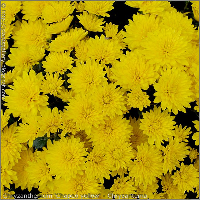 Chryzanthemum 'Chapoo yellow' - Chryzantema 'Chapoo yellow'
