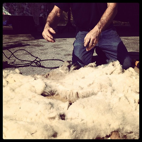 Freshly shorn fleece #shearingday