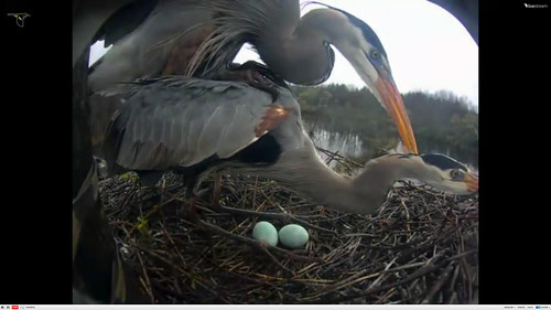 Great Blue Heron nest cam