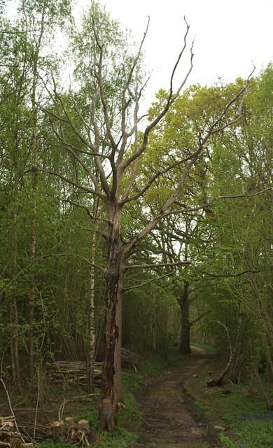 DSC_3962 dead oak