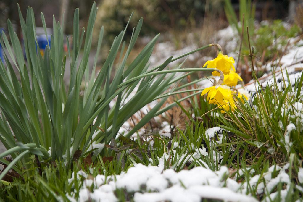 Snowy Daff