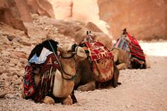 Camels near Al Khazneh in Petra