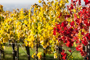 Autumn in the Vineyards near Bischoffingen