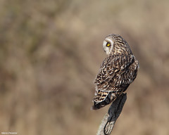 Short eared Owl (Perched)