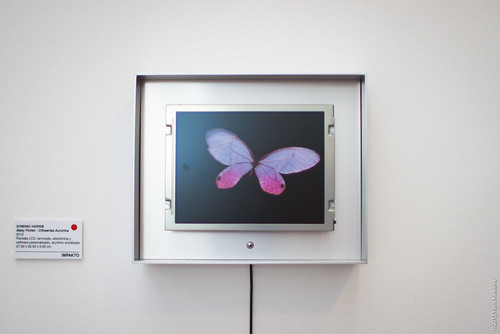 Dominic Harris - Baby Flutter - Cithaerias Aurorina