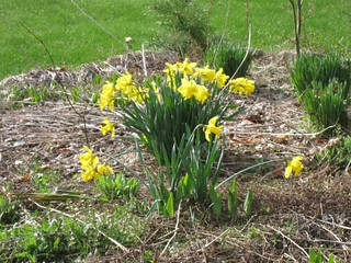 Daffodils April 2013