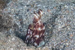 Mimic Octopus Stingray Mimic Octopus