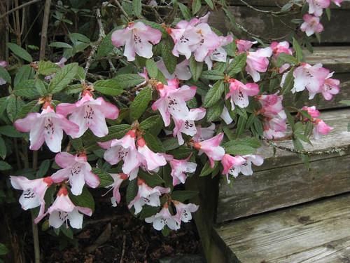 Rhododendron edgeworthii