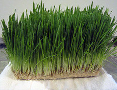 Hydroponic barley mat