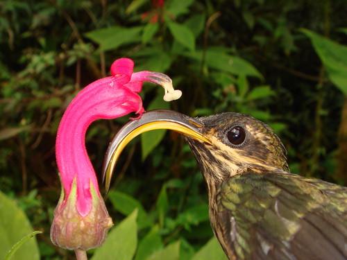 Hummingbirds: still evolving endless forms most wonderful