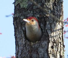 animal, perching bird, winter, nature, fauna, old world flycatcher, beak, bird, wildlife,