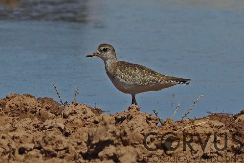 Black-bellied Plover -2