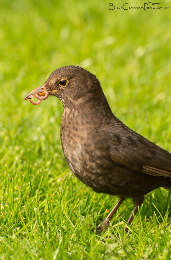female blackbird worm