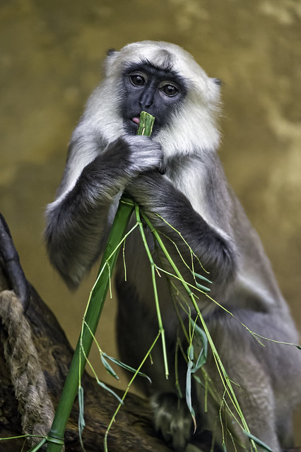 Young langur with bamboo