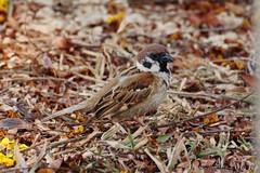 Gorrión molinero / Eurasian Tree Sparrow (Passer montanus)