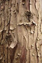 24mm - IB - o tronco de uma bela árvore
