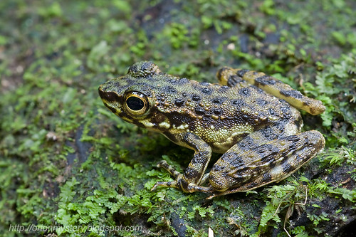 Larut Torrent Frog (<i>Amolops larutensis</i>)  IMG_1995 copy