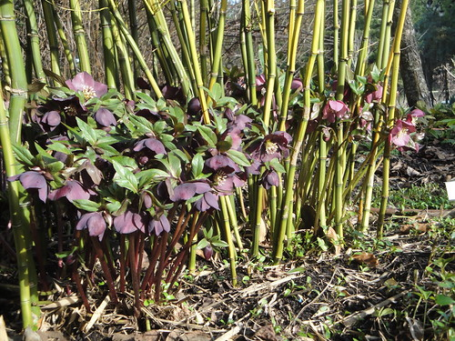 Dancing Oaks Hellebores with Bamboo
