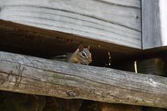 muridae(0.0), bat(0.0), gerbil(0.0), wildlife(0.0), animal(1.0), wood(1.0), squirrel(1.0), rodent(1.0), fauna(1.0), chipmunk(1.0),