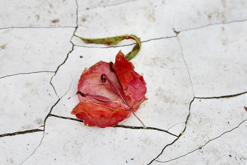 Fallen Flower with Cracked Surface