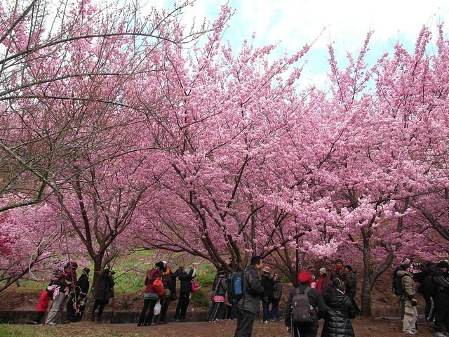據說是武陵農場獨有櫻種「紅粉佳人」