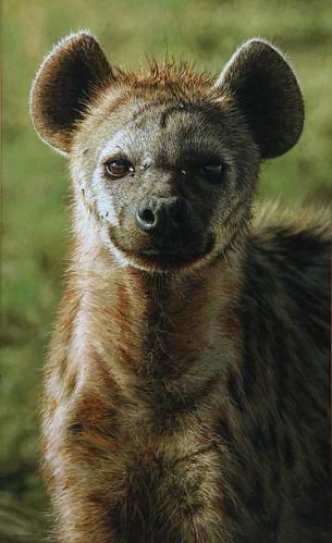 "'(Hyena) Portrait of a Princess' oil on board 19½"" x 12"