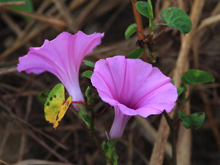 Morning Glory 20120310