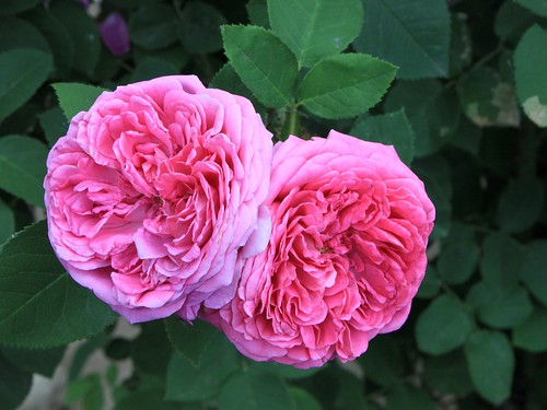 Damask-Rose_Rosa-damascena__16118