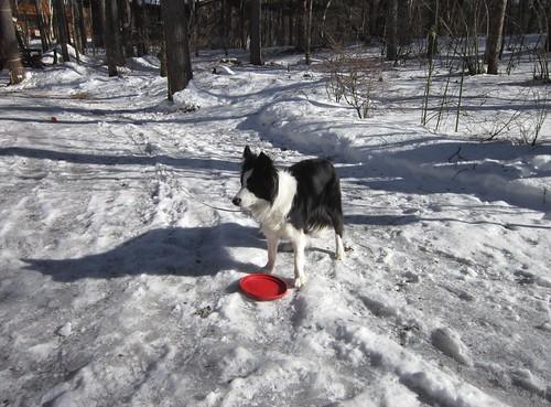 凍った庭で遊ぶランディ 2012年2月11日14:36 by Poran111