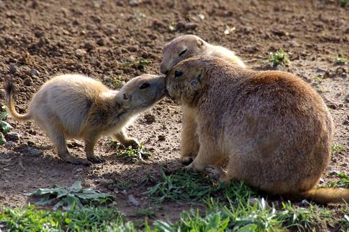 無料写真素材, 動物 , 哺乳類, プレーリードッグ, 動物  親子, キス・くちづけ