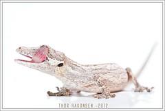 Rhacodactylus auriculatus
