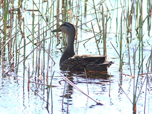 Mottled Duck female 20120215