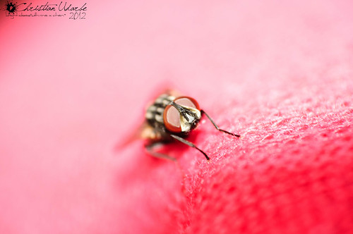 Red Eyes (Housefly Macro)
