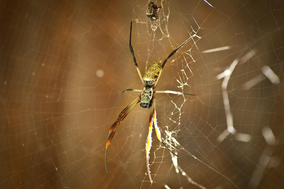 Una Araña dorada (Nephila) construyó su red en el techo del mirador de Campo María. A pesar de su tamaño y de lo que la mayoría de la gente cree, estas arañas no son peligrosas para el ser humano. Su veneno es inofensivo, salvo para personas con alergia. Además no es agresiva, esto significa que no usará sus colmillos para la defensa sino para inyectar el veneno a sus presas. (Elton Núñez)