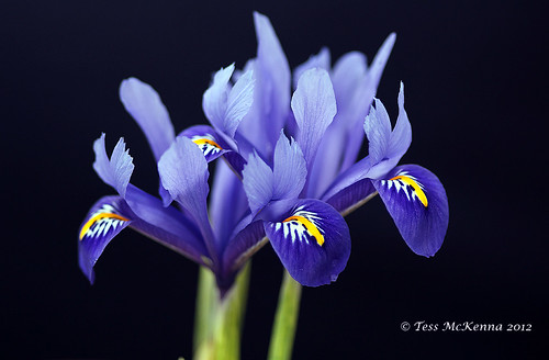 Miniature Iris 078 copy (Iridaceae)