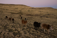cattle-like mammal, animal, steppe, field, soil, mammal, herd, grazing, fauna, natural environment, herding, landscape, wilderness, cattle, pasture, rural area, grassland, wildlife,