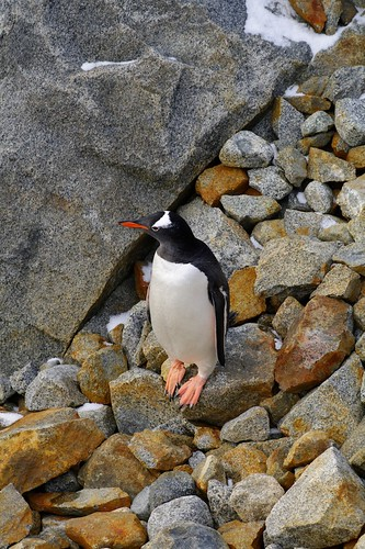Gentoo by Sean Bonnette