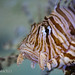 Lion Fish