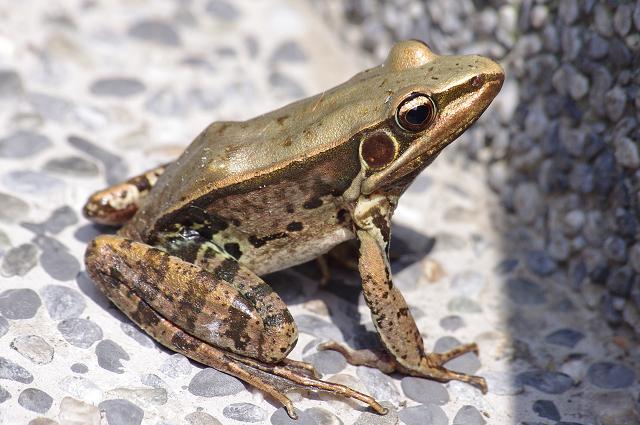 迷路的蛙蛙
