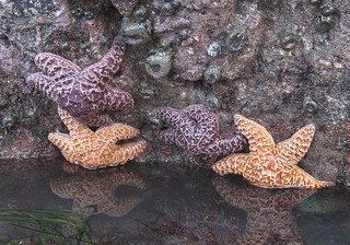 Ochre Seastars (Pisaster ochraceus) Feb 19, 2012. Patrick's Point SP., Humboldt Co., CA (1)
