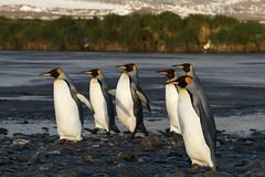 King penguins, Salisbury Plain, Bay of Isles South Georgia (UK)