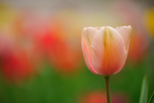 Tulip by myu-myu