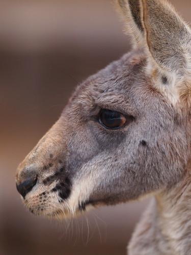 多摩動物公園 カンガルー