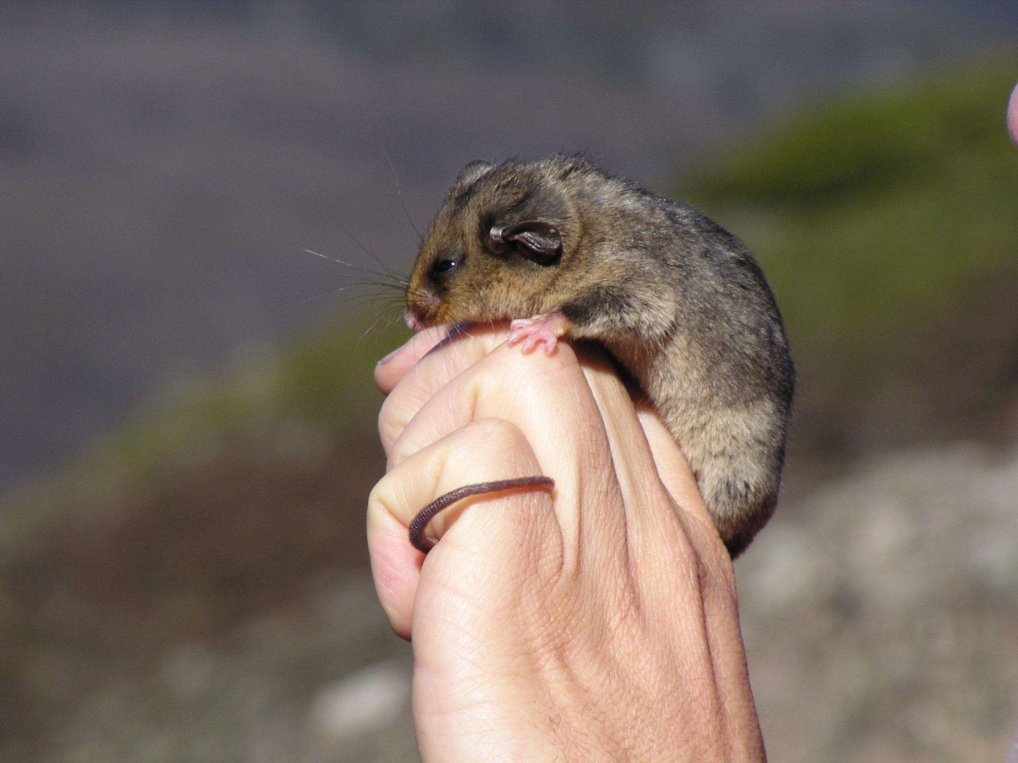 mountain pygmypossum burramys parvus flickr photo